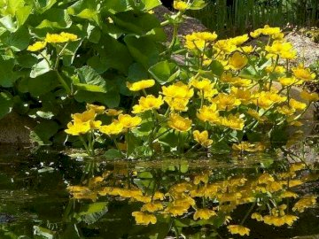 Marigolds by the water - Marsh marigolds over the spring backwaters. A yellow flower with green leaves.