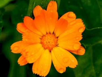 Flower, garden, raindrops, - Flower, garden, raindrops,. A close up of a flower.
