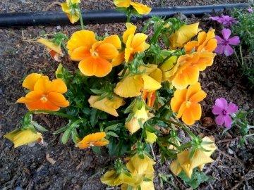 ORANGE Pansies - Orange Pansies. A close up of a flower garden.