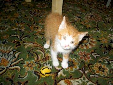 MAŁY RUDY KOTEK - MAŁY RUDY KOTEK NA WZORZYSTYM DYWANIE. Pomarańczowo-biały kot z otwartymi ustami.