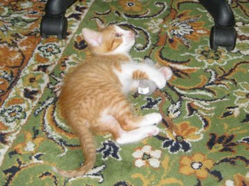 OWN CATS - Little red kitty on the carpet. A cat lying on a rug.