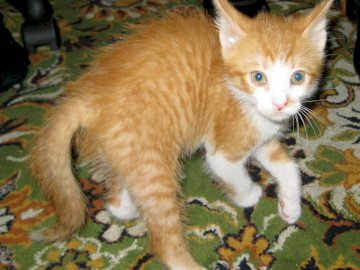 Red kitten on the carpet - A small, red kitten on a patterned carpet. An orange and white cat with its mouth open.