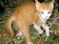 Rode kitten op het tapijt