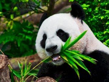The Hungry Panda - Panda eating bamboo. London. A panda bear sitting in a garden.