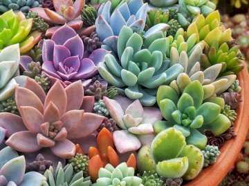 Colorful Succulents. - Jigsaw puzzle. flowers. Colorful succulents in a pot. A bunch of green bananas on a table.