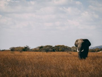 Roaming the Wild - Photo of gray elephant on grass. Vancouver, Canada. A large brown elephant standing in a grassy fiel