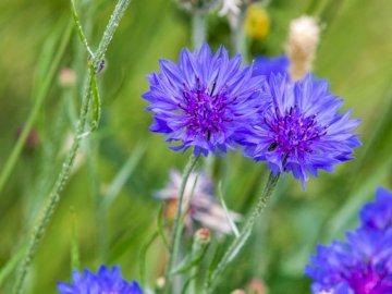 Flores en el prado - Flores florecientes en el prado - aciano. Una flor morada en una planta.
