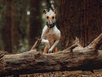 Whippet Agilität - Brauner und weißer Hirsch, der tagsüber auf braunem Baumstamm steht. Wirral. Ein Tier sitzt auf ei