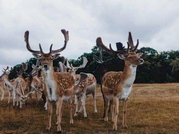 Richmond park deers. Santa has - Brown reindeer. London. A herd of cattle standing on top of a dry grass field.