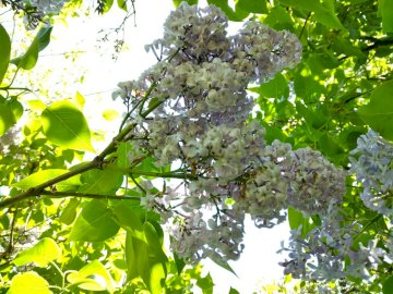 Flieder - Flieder - Blüten und Blätter. Eine Nahaufnahme eines Astes.