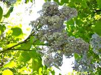 Common lilac - Common lilac - flowers and leaves. A close up of a tree branch.