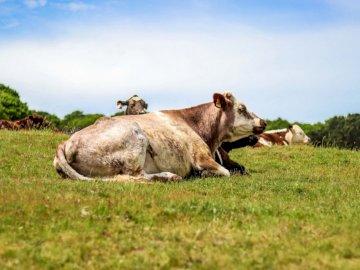 Mucca che si distende in un campo - Mucca marrone sul prato di erba verde. Norwich, Norfolk. Un branco di bovini che giace sulla cima di
