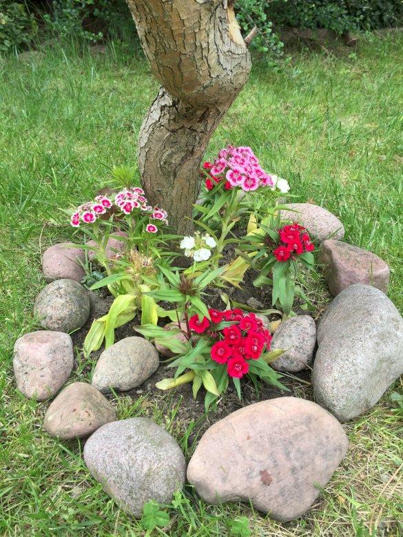 Goździk kamienny - Goździki kamienne w moim ogródku. Zakończenie up kwiatu ogród (5×5)