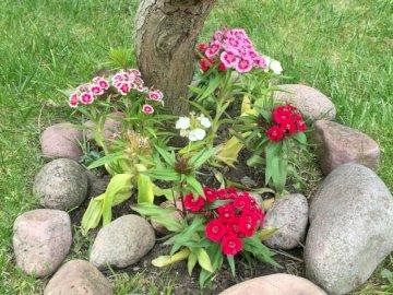 Steinnelke - Steinnelken in meinem Garten. Eine Nahaufnahme eines Blumengartens.