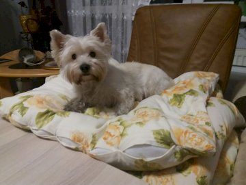 Nuteczka - My most beautiful girl, beautifully poses for photos. A small brown and white dog sitting on a bed.