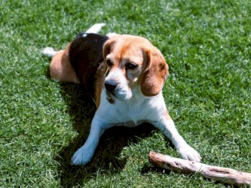 Chien Beagle couché sur l'herbe - Beagle tricolore couché sur l'herbe verte pendant la journée. Leicester. Un chien brun et