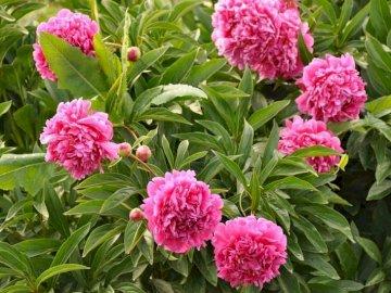 Pfingstrosen Puzzle - Legen Sie das Bild so schnell wie möglich an. Erkennen Sie die Blume auf dem Bild?. Eine Nahaufnahm