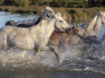 Galopem przez strumień - Strumień łąka konie w galopie. Stado koni stojących obok akwenu.