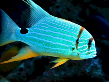 Croaker virginiana - niebieska rybka croaker virginiana. Ryba pływająca pod wodą.