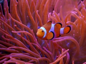 Koral i ryba - Rybka pływająca pośród rafy koralowej. Ryba się blisko.