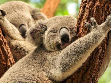 Z MISIEM - AUSTRALIA I JEJ ZWIWERZE4TA. Zamknięty koala.