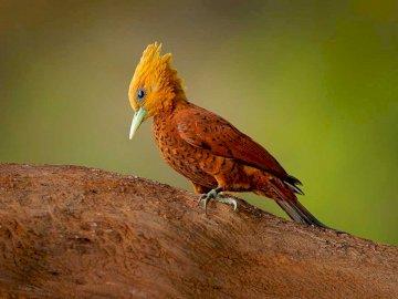 Pájaro carpintero - Suceso y medio ambiente Este pájaro carpintero se encuentra en América Central. Un pequeño pájar