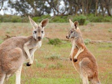 Kangaroo from AUSTRALIA - WITH BEAR PADDINGTON ON THE JOURNEY. A kangaroo standing on grass.