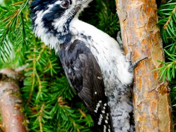 Three-toed woodpecker - Food Hunts for insects, eats seeds in winter. He also uses tree juices, which he rings himself. A bi