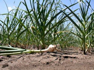 Knoblauchfelder um Billom - Knoblauch wächst auf dem fruchtbaren Land der Limagne. Es hat einzigartiges Know-how und eine eigen