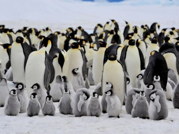Penguins - i pinguini sono carini. Un pinguino nella neve.
