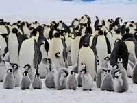 Tučňáci - tučňáci jsou roztomilí. Tučňák ve sněhu.