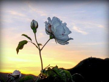 Lassen Sie uns von Schönheit umgeben sein - Eine Rose im Poble de Ferreries.
