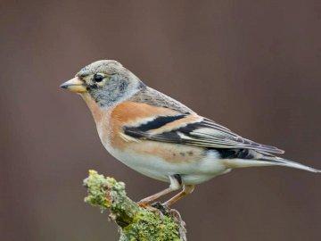 jer pájaros - pinzón jer Fringilla montifringilla. Un pequeño pájaro posado en una rama.