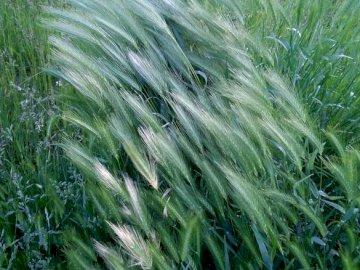 ERBA DI PRIMAVERA - Primavera, maggio erbe che ondeggiano al vento. Un'erba verde alta.
