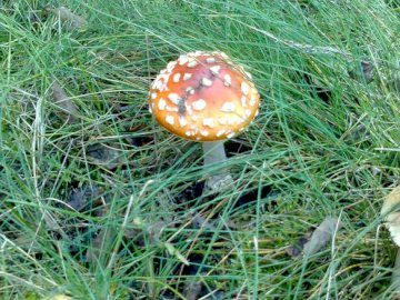 """Mushrooms that """"fly"""" - """"Flying mushroom"""" in the Spreewald. A close up of a green field."""