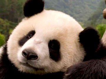 EL OSO PANDA - COMPLETA EL SIGUIENTE ROMPECABEZAS. A close up of a panda.