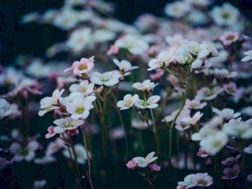 Żywe Kwiaty - Zbliżenie fotografia śródpolny biały płatkujący kwiat. Helsinki, Finlandia. Zamknięty kwiat.