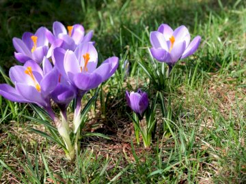 Wiosenne krokusy - Wiosenne krokusy na łące. Purpurowy kwiat w polu.