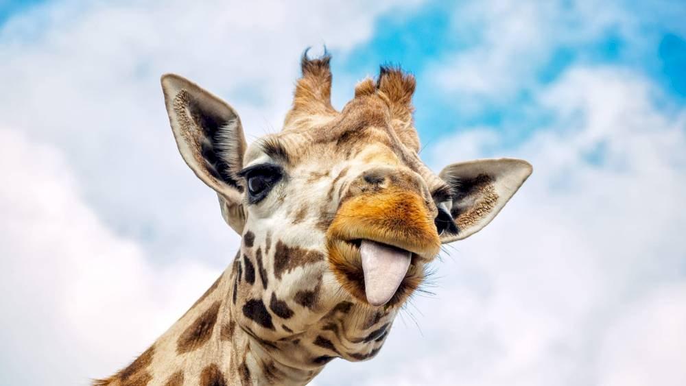 Funny giraffe - it's a funny giraffe. A close up of a giraffe.