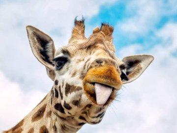 Girafa engraçada - é uma girafa engraçada. Um close-up de uma girafa.