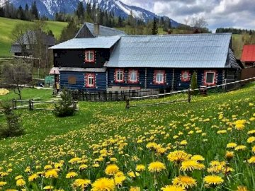 Under the Tatra Mountains. - Dandelion flowering meadows in the Tatra Mountains. A yellow flower in a field with a mountain in th