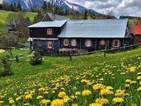 Sob as montanhas Tatra. - Prados de floração-leão nas montanhas Tatra. Uma flor amarela em um campo com uma montanha ao fun