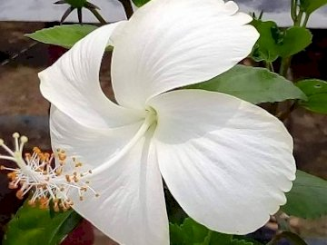 White Hibiscus. - Jigsaw puzzle. flowers: white hibiscus. A close up of a flower.