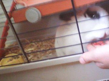 """Un lapin nain mangeant une framboise - Notre petite Popie mangeant une framboise à toute vitesse (elle a eu plein de """"rouge à l�"""