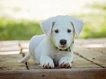puppy - The dog to lay down. A white dog sitting on a wooden surface.