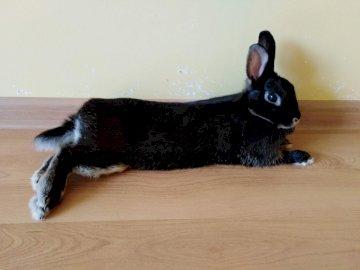 Conejito Tosia - Organizar el rompecabezas del conejito. Un perro negro tirado en el suelo.