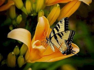 Butterfly - motyl wśród żółtych kwiatów. Zakończenie up żółty kwiat.