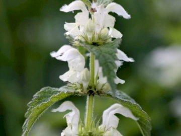 Deadnettle - Obraz białego Deadnettle, dla many. Biały kwiat na roślinie.