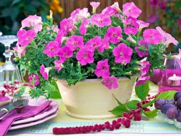 Pink Petunia In Flower Pot - Pink Petunia In Flower Pot On Table. A close up of a flower.