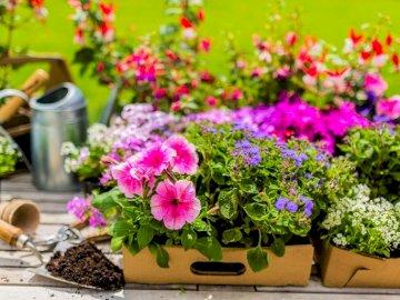 Bunte Blumen in Kästen, Gießkanne - Bunte Blumen in Kästen, Gießkanne, Spatel. Eine Nahaufnahme eines Blumentopfes.